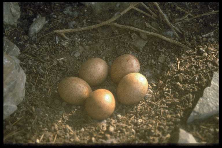 A clutch of 5 Saker eggs on a cliff ledge